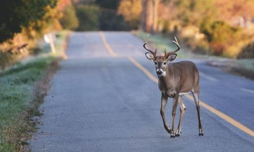 Deer on roadway